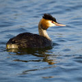 Great Crested Grebe (Podiceps cristatus) on water Stock Image