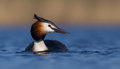 Great Crested Grebe Podiceps C...