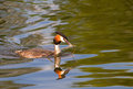 Great crested grebe swimming stick Royalty Free Stock Photos