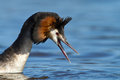 Great Crested Grebe, waterbird (Podiceps cristatus Royalty Free Stock Photos