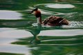 Great crested grebe waterbird podiceps cristatus a female with chicks lago di garda italy Stock Photos