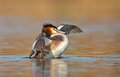 Great crested grebe waterbird podiceps cristatus during mating season Stock Images