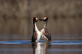 Great crested grebe waterbird podiceps cristatus in mating season during Stock Photo
