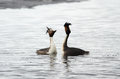 Great Crested Grebes courtship Royalty Free Stock Photo
