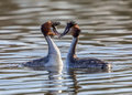 Great Crested Grebes - Podiceps cristatus Royalty Free Stock Photo