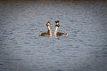 Great Crested Grebes Royalty Free Stock Photo
