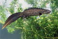 Great Crested Newt Stock Photos