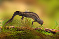 Great crested newt or water dragon Stock Photo