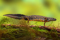 Great crested newt or water dragon Stock Photos