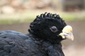 Great curassow Stock Photography
