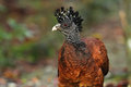 Great Curassow Stock Photos