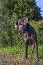 Great dane Arkivfoton