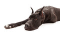 Great dane dog laying down a large black with cropped ears against a white background Royalty Free Stock Image