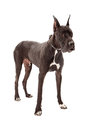 Great dane dog standing against a white background Stock Photos