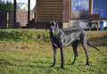 Great Dane dog youngster