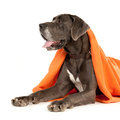 A great dane half way hidden under an orange blanket Stock Photos