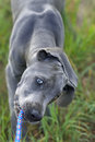 Great Dane puppy Royalty Free Stock Photo