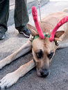Great dane reindeer Stock Image