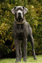 Great dane s have excellent temperaments making them good to have as pets Stock Images