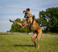 Great dane trying to catch ball her while standing on hind legs Stock Image