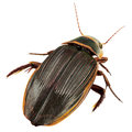 Great diving beetle the dytiscus marginalis isolated on white Stock Photos