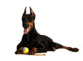 Great doberman dog with ball Stock Images