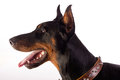 Great doberman dog portrait of isolated on white background Stock Image
