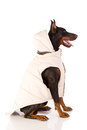 Great doberman dog ready for winter pinscher sitting on white background Stock Photography
