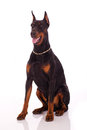 Great doberman dog on white background Royalty Free Stock Photo