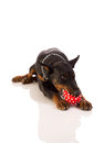 Great doberman with a favorite toy on a white background Royalty Free Stock Photography