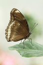 Great eggfly butterfly resting leaf Royalty Free Stock Image
