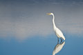 Great Egret Against a Pale Blue Background Royalty Free Stock Photo