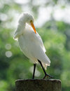 Great egret ardea alba the also known as common large or white heron Royalty Free Stock Image