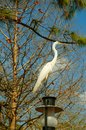 Great egret the ardea alba also known as common large or white heron is a large widely distributed Stock Image