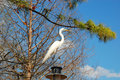 Great egret the ardea alba also known as common large or white heron is a large widely distributed Royalty Free Stock Photos