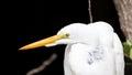 Great Egret (Ardea Alba), Big Cypress National Preserve, Florida Royalty Free Stock Photo