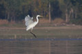Great egret ardea alba in flight Royalty Free Stock Photo