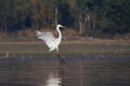 Great egret ardea alba in flight Stock Photos