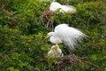 Great Egret Ardea alba Royalty Free Stock Photo