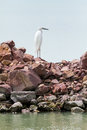Great egret ardea alba perching on a rock with background of blue water Stock Photos
