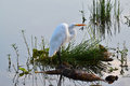 Great Egret (Ardea alba) Standing on Log. Royalty Free Stock Photo