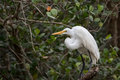 Great Egret, Big Cypress National Preserve, Florida Royalty Free Stock Photo