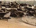 Great Egret and Breaking Waves Royalty Free Stock Photo