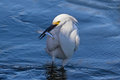 Great egret catching fish at bolsa chica ecological reserve ca Royalty Free Stock Photo