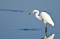Great egret with caught fish a white Royalty Free Stock Image