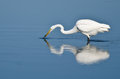 Great egret with caught fish a white in shallow blue water Royalty Free Stock Photos