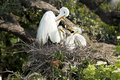 Great Egret and chicks in nest Royalty Free Stock Photo