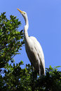 Great egret or common egret a very common bird throughout brazi santos sp brazil july ardea alba ardeidae which occurs in americas Stock Image