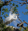 Great egret displays plumage a large white perches in a tree showing its nuptial plumes special feathers that emerge in breeding Royalty Free Stock Images