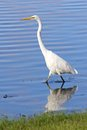Great egret distibuted across most of the tropical and warmer temperate regions of the world the ardea alba is also known as the Royalty Free Stock Photo